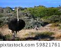南非好望角,野生鸵鸟雄 59821761