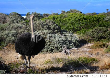 남아공 희망봉가는 길목 대서양 바닷가 풀 숲에서 만난 야생 타조 숫컷 한 마리 59821761
