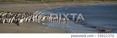 Gentoo Penguins on Bleaker Island 59822378