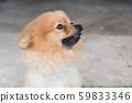Pomeranian dog on green 59833346