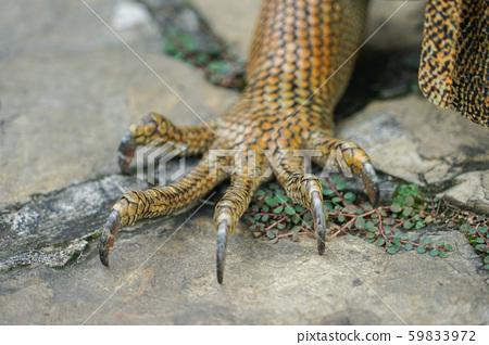 Green iguana hand 59833972