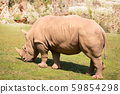 great white rhinoceros eating on a green prairie 59854298