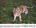 big adult tiger lying on the green grass 59854420