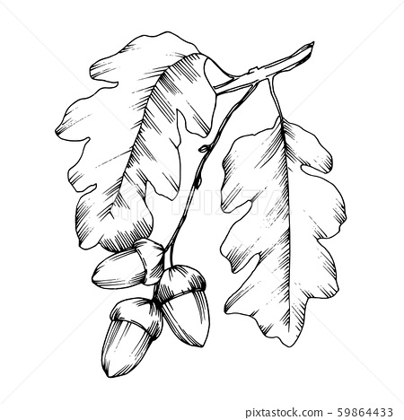 Acorn branch with nuts and leaves. Black and white engraved ink art. Isolated oak illustration 59864433