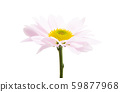 pink chrysanthemum isolated 59877968