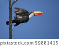 Close up of a Toco Toucan in flight 59881415