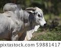 Portrait of Nelore bull in brazilian farm 59881417