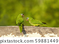 Yellow-chevroned parakeets perched on a wooden 59881449