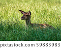 Roe Deer, Capreolus capreolus lives mostly in Germany and France 59883983