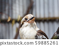 Laughing Kookaburra Brown and white Australian bird 59885261