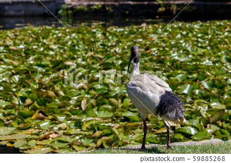 Black and White Australian White Ibis standing near lily covered pond 59885268
