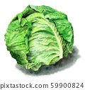 Spring cabbage painted in watercolor 59900824