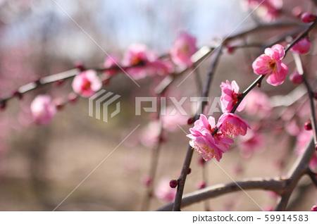 Plum blossom 59914583