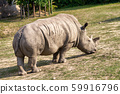 The white rhinoceros. 59916796