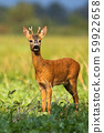 Young roe deer buck sunkissed in the rainy weather in sunny evening in summer 59922658