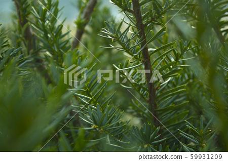 주목나무 59931209