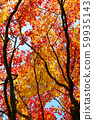 ต้นเมเปิลของสวนญี่ปุ่น 59935143