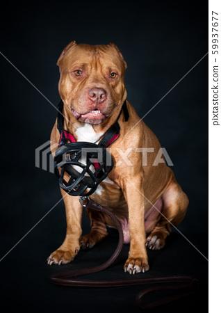 Studio portrait of a dog, pit bull on a black  59937677