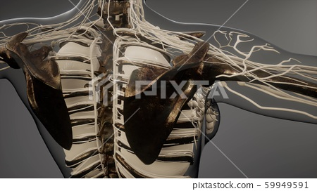 Transparent Human Body with Visible Bones 59949591