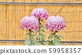 Chrysanthemum 59958357