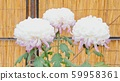 Chrysanthemum 59958361