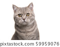 Portrait of a silver tabby british shorthair 59959076