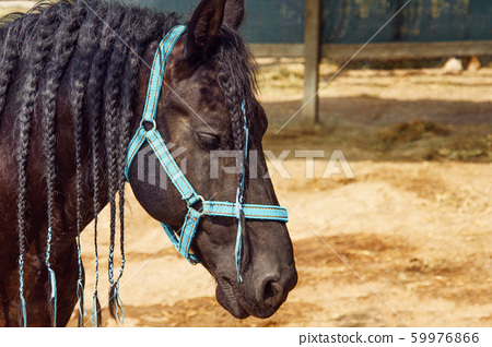 Beautiful black horse with pigtails in mane staing 59976866