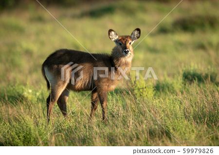 Female Defassa waterbuck standing in tall grass 59979826