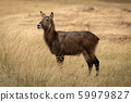 Female Defassa waterbuck standing in long grass 59979827