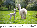 White Alpaca with offspring 59989624