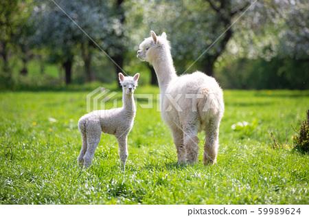 White Alpaca with offspring 59989624
