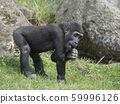 Portrait of small cute Western lowland gorilla 59996126