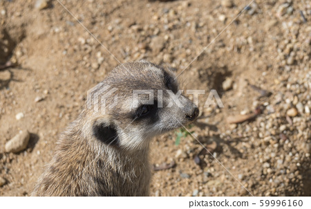 Close up portrait of meerkat or suricate, Suricata 59996160