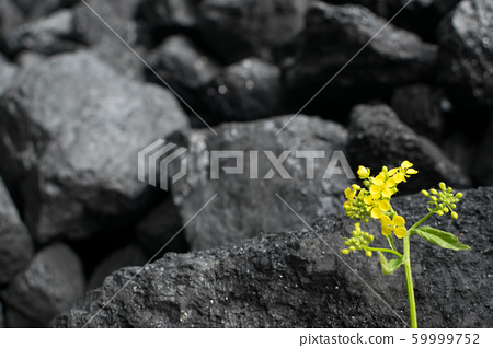 Wild rapeseed flower also known as rape or oilseed 59999752