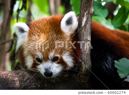 Red Panda Lying On Tree For Recreation 60002274