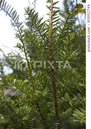 주목나무 60002744