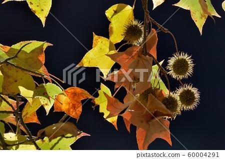 楓葉(Muryo農場)楓葉紅色和黃色的多葉秋季背景 60004291