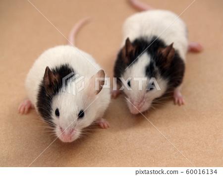 Nakayoshi Panda Mouse 60016134