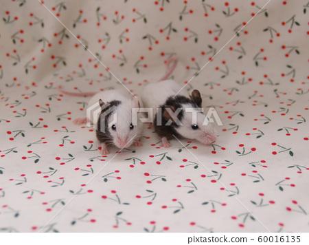 Nakayoshi Panda Mouse 60016135