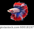 beautiful white Thai fighting fish swimming with long fins and red blue colorful long tail gene. fighting fish isolated on black background. 60018197