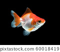 single goldfish with white and orange color isolated on black background 60018419