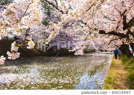 Cherry tree in Hirosaki 60019997