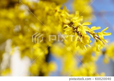 봄에 피는 개나리꽃 60020040