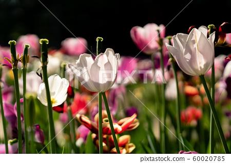 봄에 피는 다양한 종류의 꽃들 중에 튤립 접사 60020785
