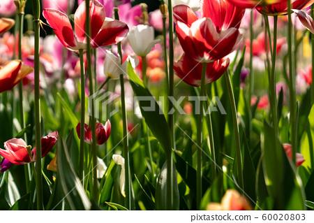 봄에 피는 다양한 종류의 꽃들 중에 튤립 접사 60020803