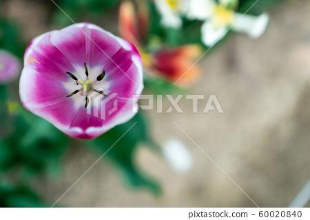 봄에 피는 다양한 종류의 꽃들 중에 튤립 접사 60020840