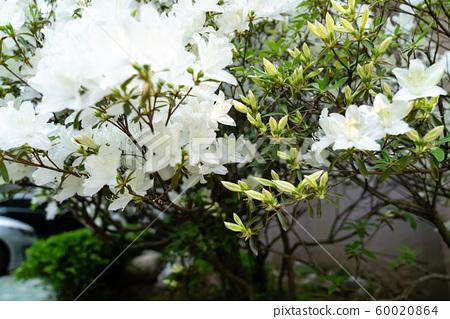 봄에 피는 다양한 종류의 꽃들 중에 철쭉 접사 60020864