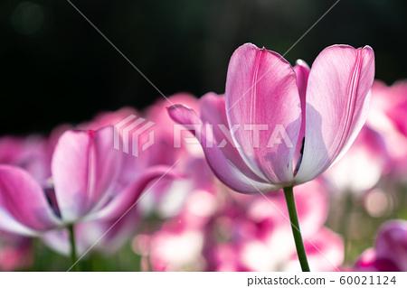 在春天盛開的各種類型的花朵之間的鬱金香宏 60021124