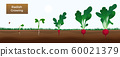 Radish Growth Stages Banner  60021379