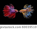 Siamese fighting fish, Beautiful style of betta splendens, isolated on a black background. 60039510